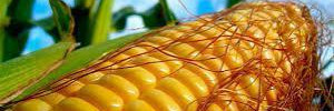 Ученые признали безопасность ГМ-кукурузы
