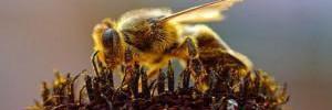 Ученые выяснили, что мёд загрязнен пестицидами