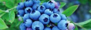 Брусника: полезные свойства ягоды