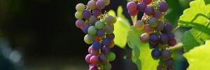 Виноград помогает от болезни, ведущей к инвалидности