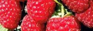 Обычная малина поможет снизить риск болезни сердца