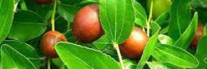 Ученые назвали азиатский фрукт, подавляющий развитие рака