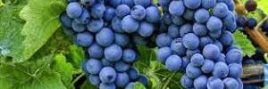 Названы полезные и вредные свойства винограда