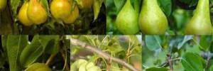 Какой фрукт нужно включить в осеннюю диету?