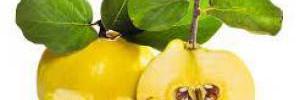 Айва: польза и вред яркого осеннего суперфуда