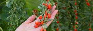 Удивительные преимущества для здоровья ягод годжи