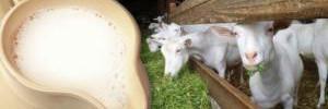 Эксперты советуют заменить коровье на козье молоко во избежание вздутия живота