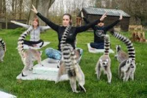 Лемога, или Что такое йога с кошачьими лемурами