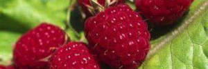 Малина под прицелом: необычные рецепты для здоровья и красоты