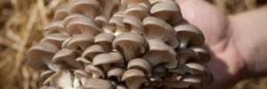 Польза грибов для иммунитета